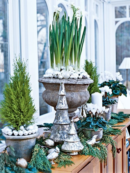 Planting Paperwhites for Christmas