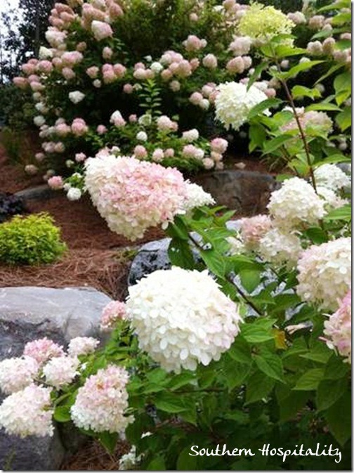 hydrangeas Cashiers showhouse