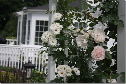 roses closeup