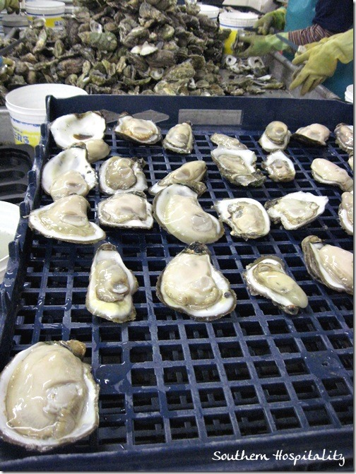 Huge oysters