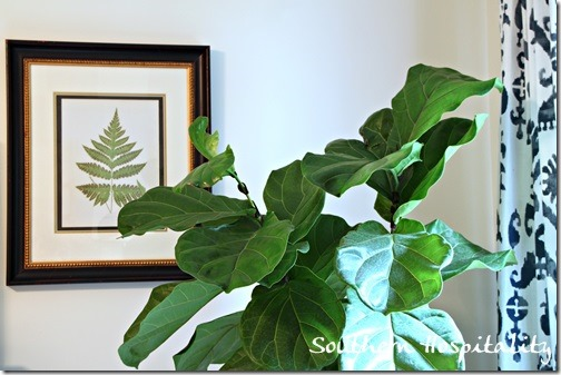 Fiddleleaf Fig (2)