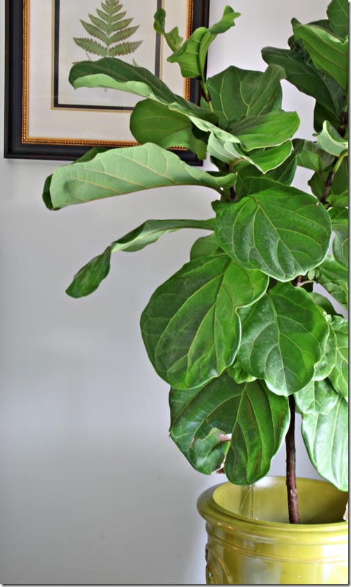 Falling for the Fiddleleaf Fig - Southern Hospitality