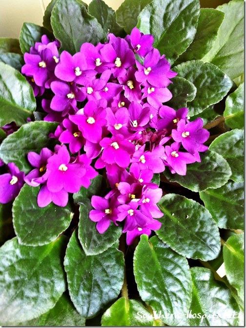 moms violets