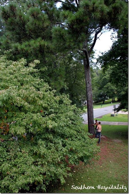 big pine (2)