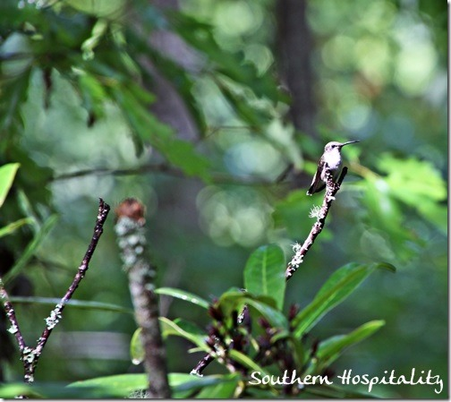 hummingbird on  limb