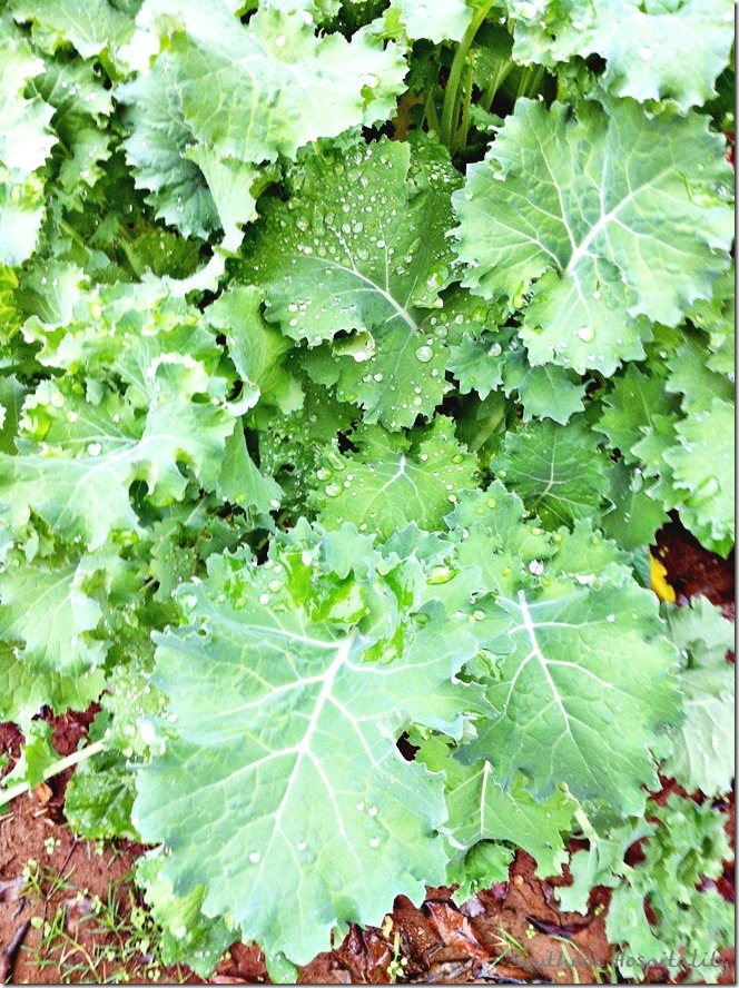 kale close up