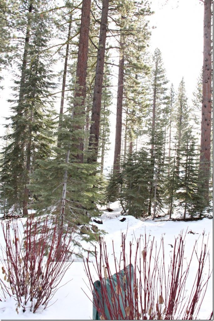 snow and trees (2)
