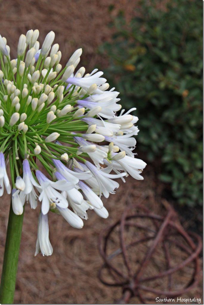 queen mum agapanthus in bloom