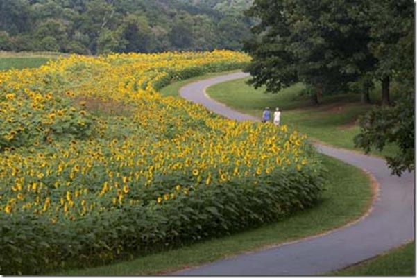 Sunflowers1 (2)_LR