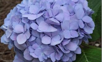 blue-hydrangeas_thumb.jpg