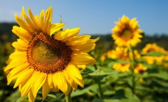 sunflower-3-705x495.jpg