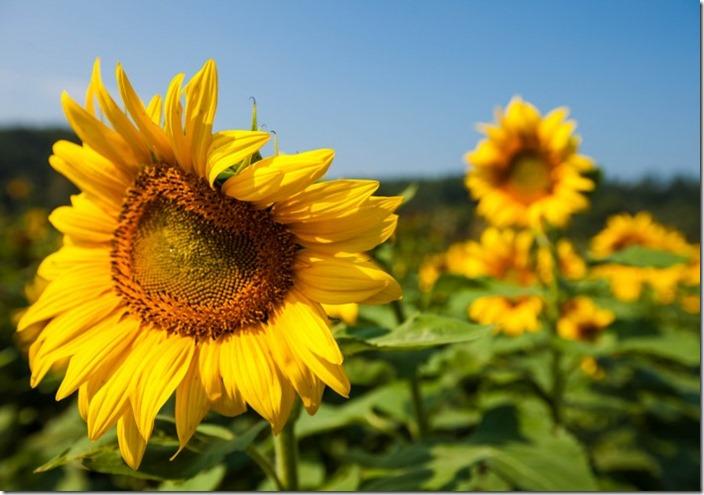 sunflower-3-705x495