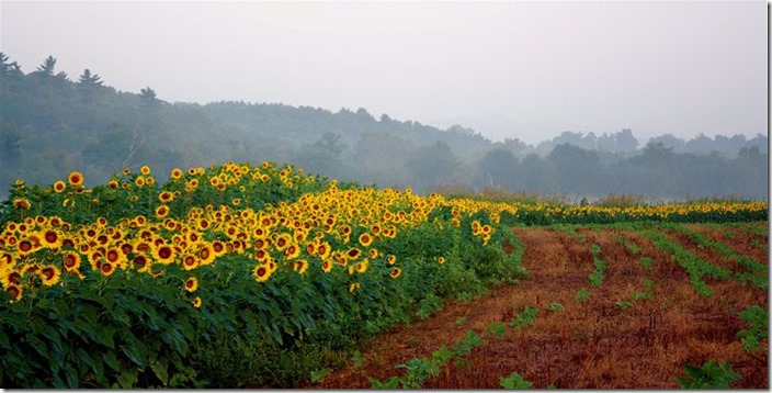 sunflowerfog2 (2)