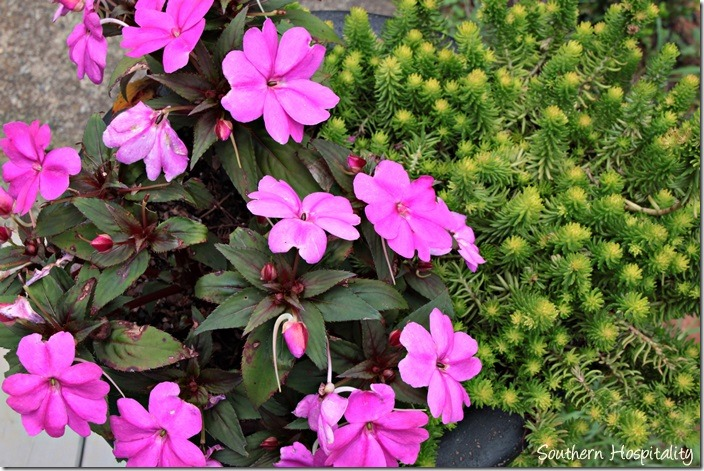 sunpatiens and sedum