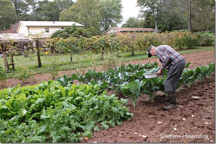 dad picking greens (2)