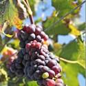 red-grapes-on-vine_thumb.jpg