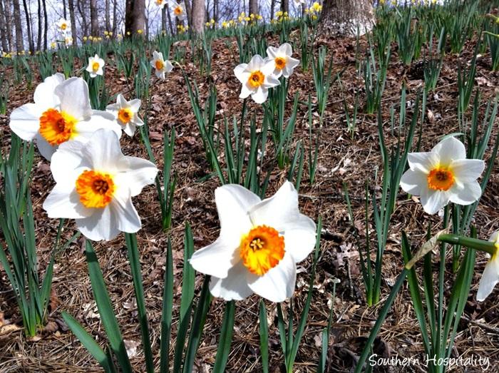 gibbs gardens daffodils003