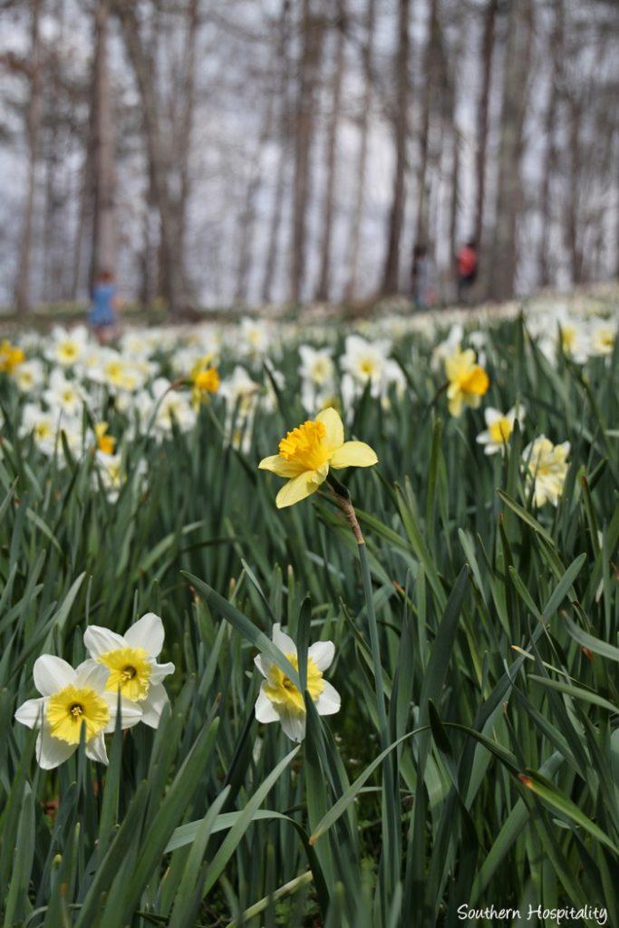 gibbs gardens daffodils007