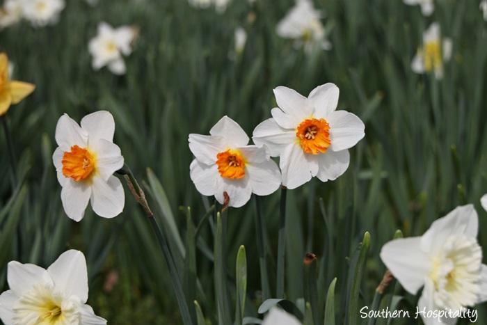 gibbs gardens daffodils008