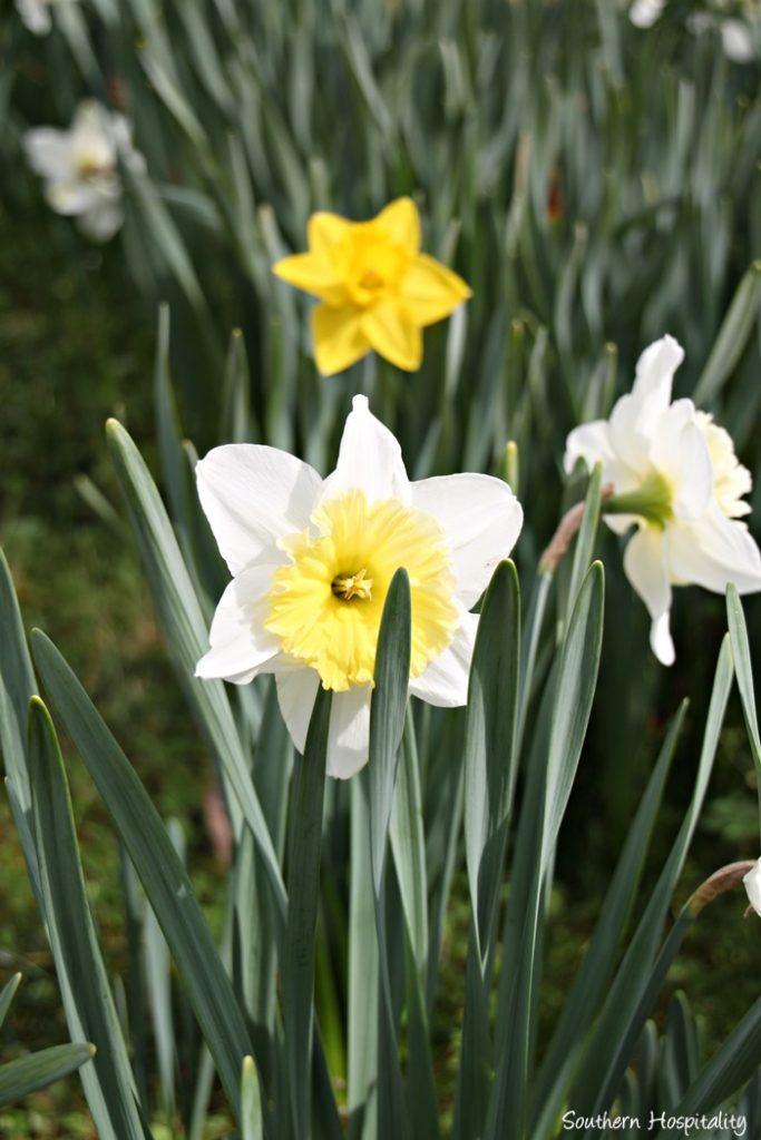 gibbs gardens daffodils011