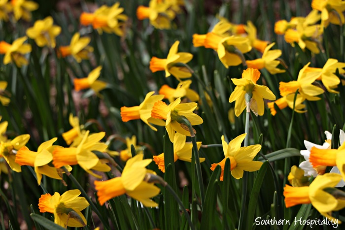 gibbs gardens daffodils013