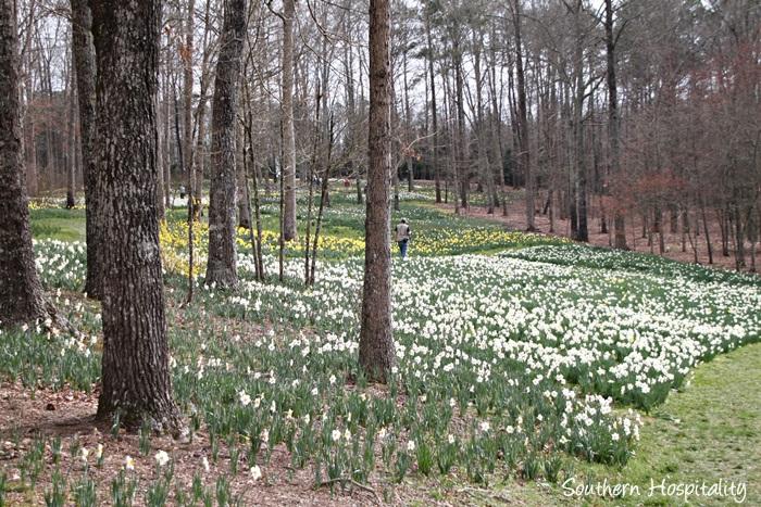 gibbs gardens daffodils015