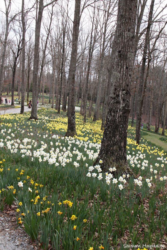 gibbs gardens daffodils016