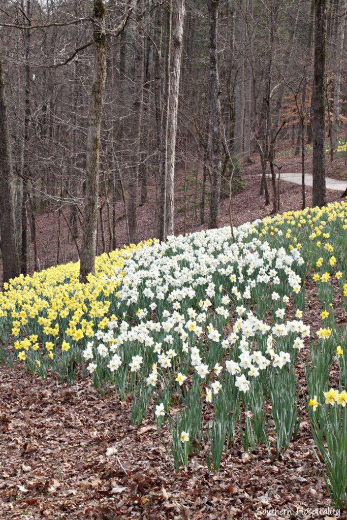gibbs gardens daffodils017