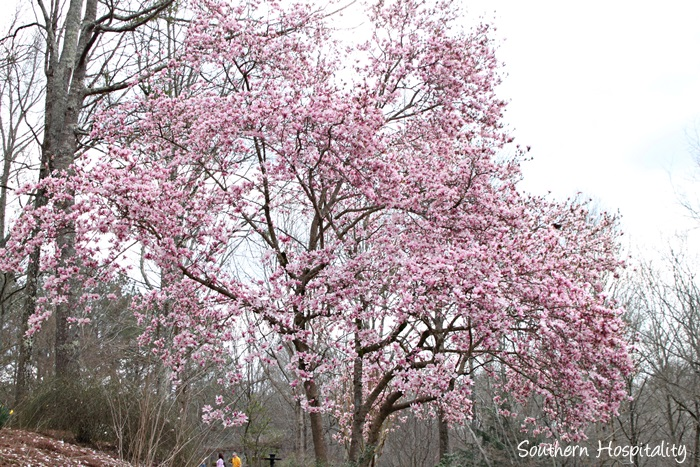 gibbs gardens daffodils020