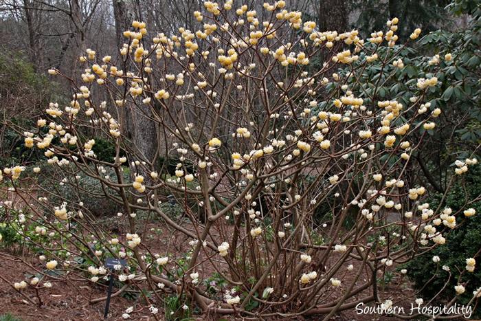 gibbs gardens daffodils022