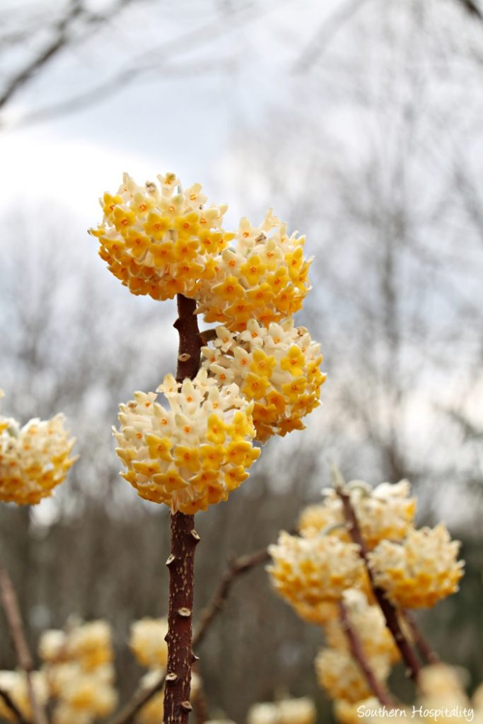 gibbs gardens daffodils024