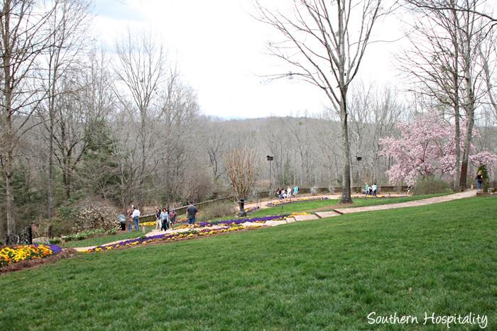 gibbs gardens daffodils034