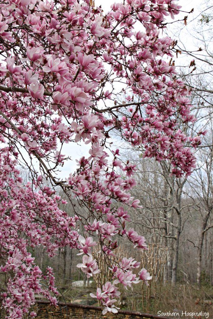 gibbs gardens daffodils035